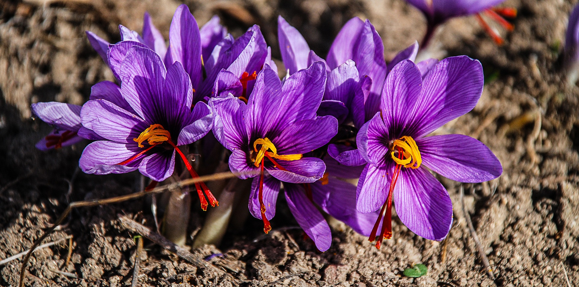 the production of Saffron