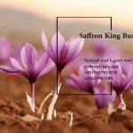 Die Safran Pflanze